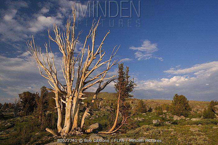 Whitebark Pine (Pinus albicaulis) habit, partially dead old tree, near Winnemucca Lake, Carson Pass, Sierra Nevada, California  -  Bob Gibbons/ FLPA
