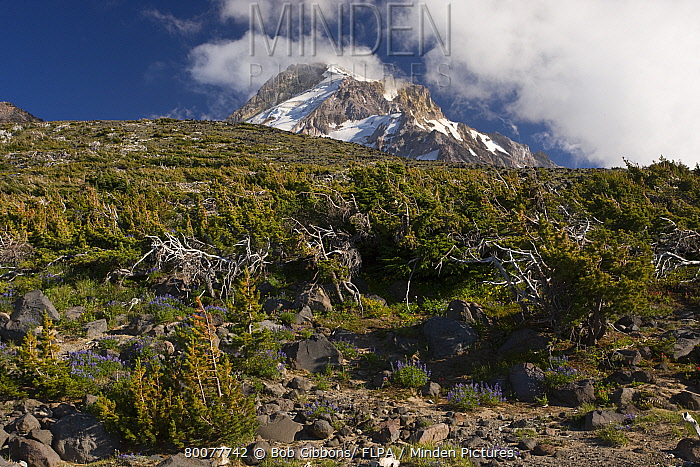 Whitebark Pine (Pinus albicaulis) dwarf krummholz community, at high altitude, Mount Hood, Cascade Mountains, Oregon  -  Bob Gibbons/ FLPA