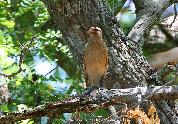 Chimango Caracara (Milvago chimango) adult, perched on dead branch, Buenos Aires Province, Argentina  -  Neil Bowman/ FLPA