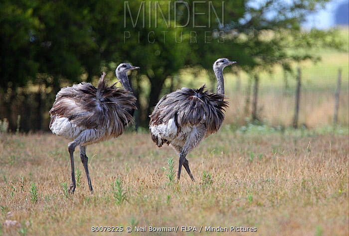 Greater Rhea (Rhea americana) two adults, walking on windy pampas grassland, Buenos Aires Province, Argentina  -  Neil Bowman/ FLPA