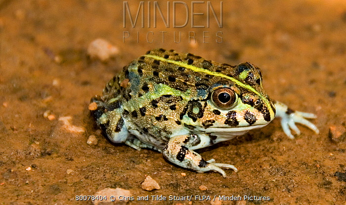 Edible Bullfrog (Pyxicephalus edulis) juvenile, Moyo Game Farm, Limpopo Province, South Africa  -  Chris and Tilde Stuart/ FLPA