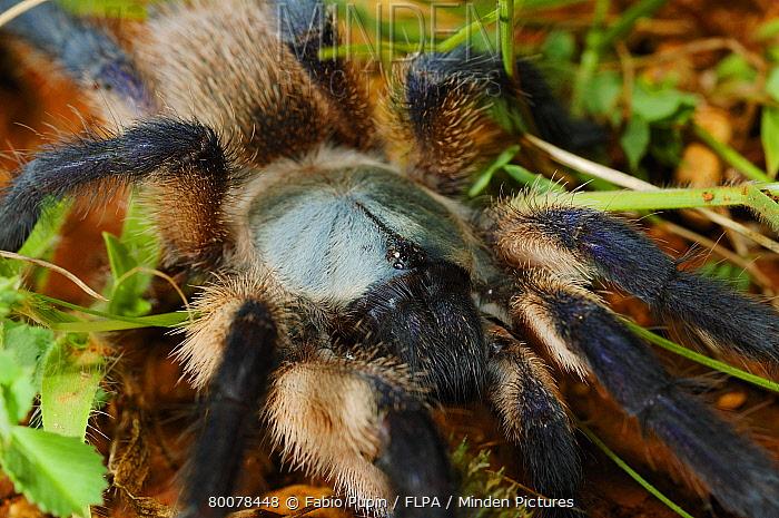 Blue Baboon Tarantula (Monocentropus balfouri) close-up of adult, Socotra, Yemen  -  Fabio Pupin/ FLPA