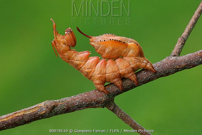 Lobster Moth (Stauropus fagi) caterpillar, in defensive posture, on Silver Birch (Betula pendula) twig, England  -  Gianpiero Ferrari/ FLPA