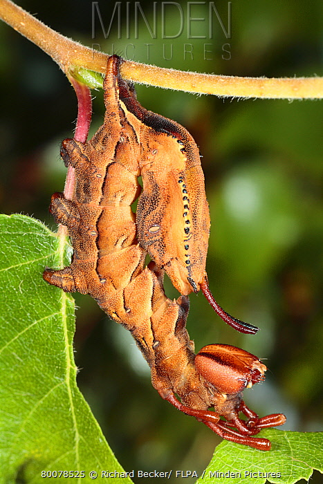 Lobster Moth (Stauropus fagi) caterpillar, final instar larva, feeding on birch leaf, in defensive posture, Powys, Wales, United Kingdom  -  Richard Becker/ FLPA