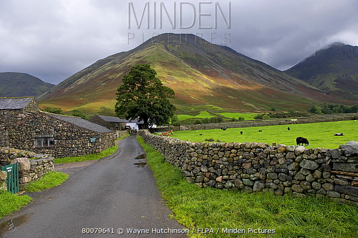 Drystone walls, farm buildings and farm track, towards Kirk Fell from Wasdale, Lake District, Cumbria, England  -  Wayne Hutchinson/ FLPA