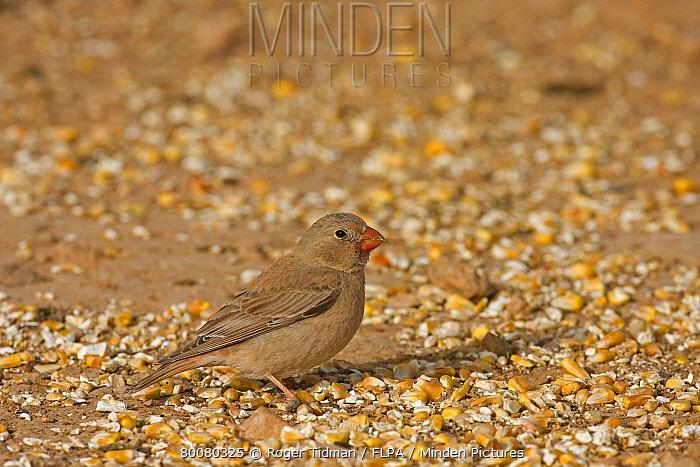 Trumpeter Finch (Rhodopechys githaginea) adult female, feeding on grain, Fuerteventura, Canary Islands  -  Roger Tidman/ FLPA