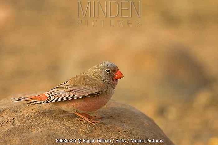 Trumpeter Finch (Rhodopechys githaginea) adult male, standing on rock, Fuerteventura, Canary Islands  -  Roger Tidman/ FLPA