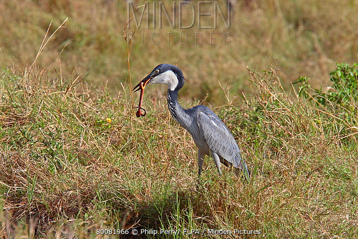 Black-headed Heron (Ardea melanocephala) adult, feeding on snake, Masai Mara, Kenya  -  Philip Perry/ FLPA
