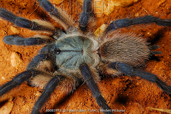 Blue Baboon Tarantula (Monocentropus balfouri) adult, close-up of hairy cephalothorax, abdomen and legs, Socotra, Yemen  -  Fabio Pupin/ FLPA