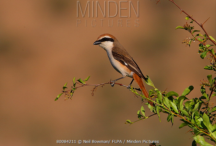 Rufous-tailed Shrike (Lanius isabellinus) adult male, perched in bush, Almaty Province, Kazakhstan  -  Neil Bowman/ FLPA