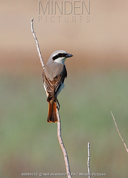 Rufous-tailed Shrike (Lanius isabellinus) 'Karelini type', adult male, perched on twig, Aqmola Province, Kazakhstan  -  Neil Bowman/ FLPA