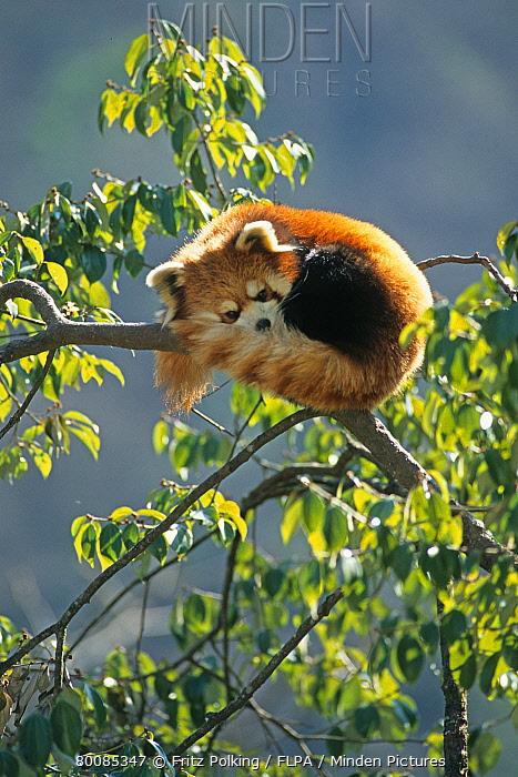 Lesser Panda (Ailurus fulgens) adult, resting in tree, Panda Centre, Wolong Valley, Himalayas, Sichuan, China  -  Fritz Polking/ FLPA