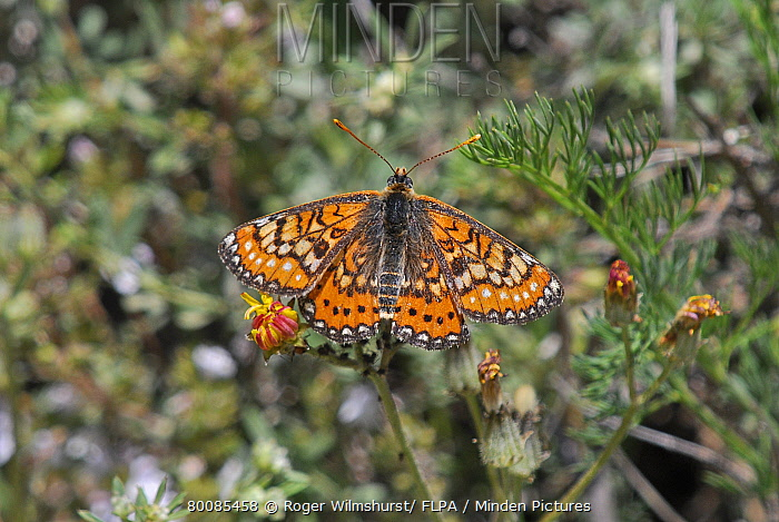 Marsh Fritillary (Euphydryas aurinia) adult, in characteristic delta-winged position, resting on plant, Pyrenees, Spain  -  Roger Wilmshurst/ FLPA
