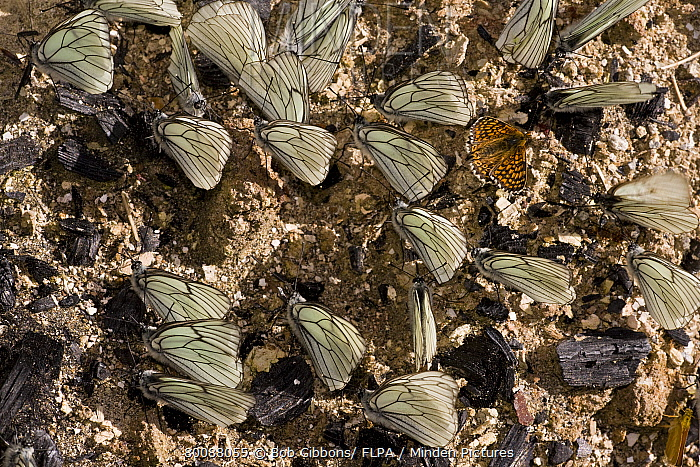 Black-veined White (Aporia crataegi) adult males, and Glanville Fritillary (Melitaea cinxia), drink mineral salts from damp soil, Ecrins, Alps, France  -  Bob Gibbons/ FLPA