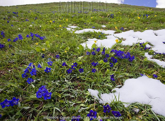 Trumpet Gentian (Gentiana acaulis) flowering, on slope in montane pasture habitat, Col d'Agnel, Queyras Natural Regional Park, Alps, France  -  Bob Gibbons/ FLPA