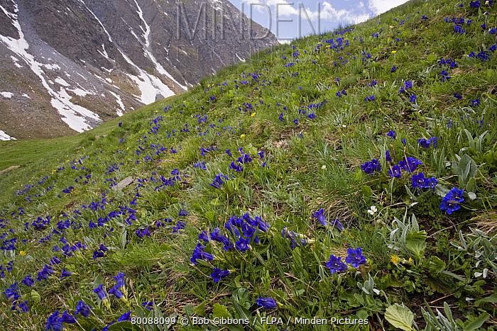 Trumpet Gentian (Gentiana acaulis) flowering, mass on slope in montane pasture habitat, Col d'Agnel, Queyras Natural Regional Park, Alps, France  -  Bob Gibbons/ FLPA