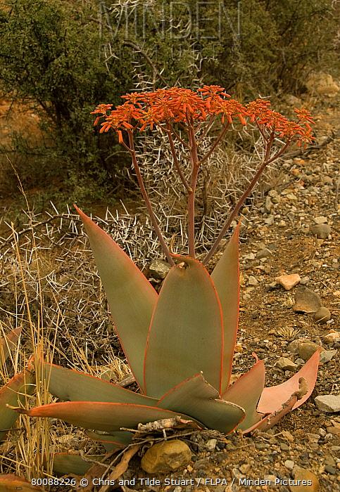 Coral Aloe (Aloe striata) flowering, Camdeboo National Park, Graaff-Reinet, Eastern Cape, South Africa  -  Chris and Tilde Stuart/ FLPA