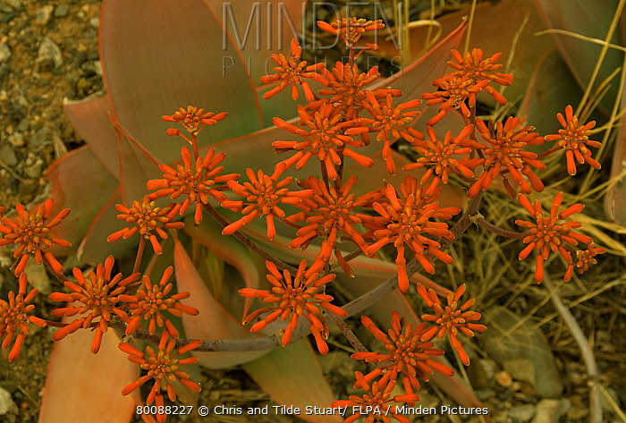 Coral Aloe (Aloe striata) close-up of flowers, Camdeboo National Park, Graaff-Reinet, Eastern Cape, South Africa  -  Chris and Tilde Stuart/ FLPA