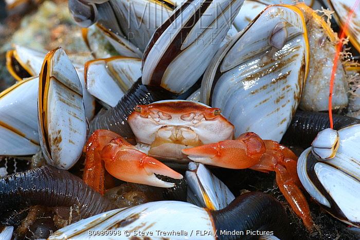 Gulfweed Crab (Planes minutus) adult, washed up on beach amongst clump of Common Goose Barnacles (Lepas anatifera), Dorset, England  -  Steve Trewhella/ FLPA