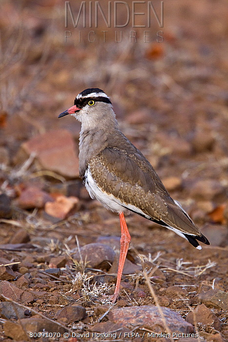 Crowned plover  -  David Hosking/ FLPA