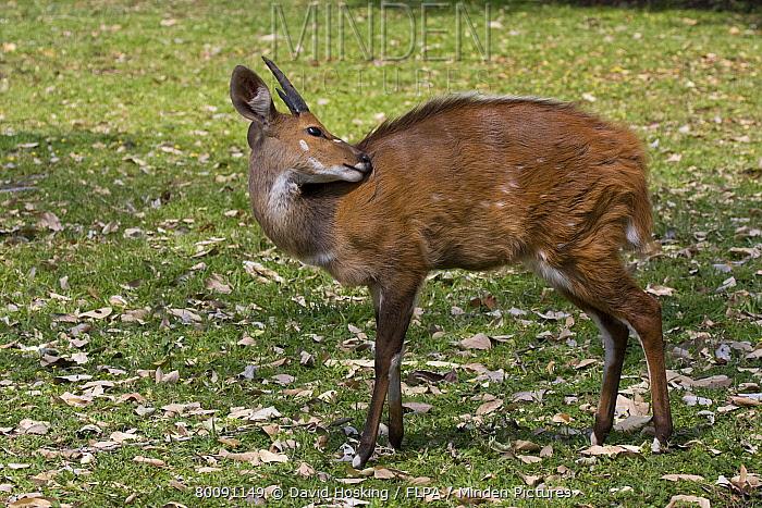 Bushbuck, Young male  -  David Hosking/ FLPA