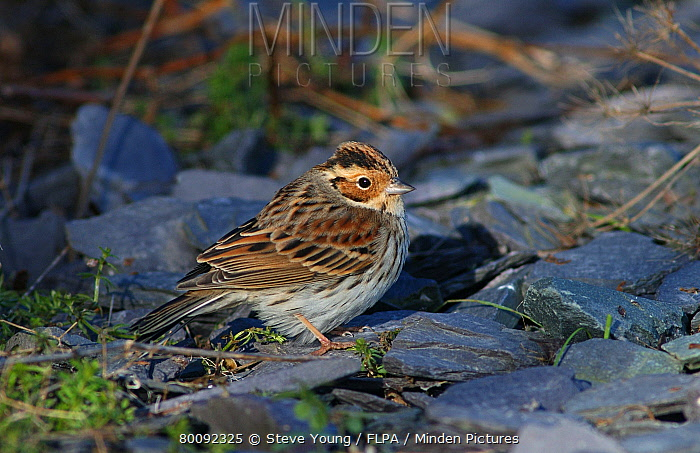 Little Bunting (Emberiza pusilla) adult, vagrant, standing on slate, Anglesey, Wales  -  Steve Young/ FLPA