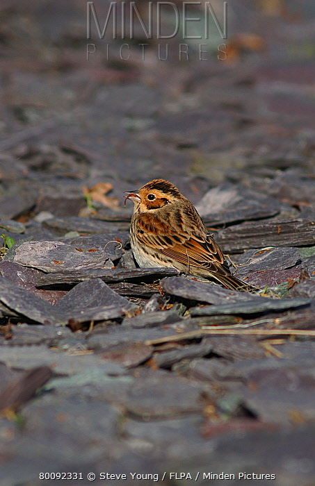 Little Bunting (Emberiza pusilla) adult, vagrant, feeding, standing on slate, Anglesey, Wales  -  Steve Young/ FLPA