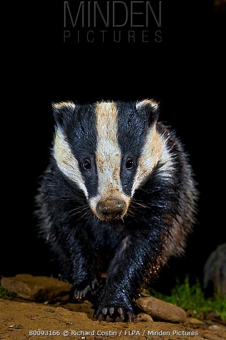 Eurasian Badger (Meles meles) adult, walking at night, England  -  Richard Costin/ FLPA