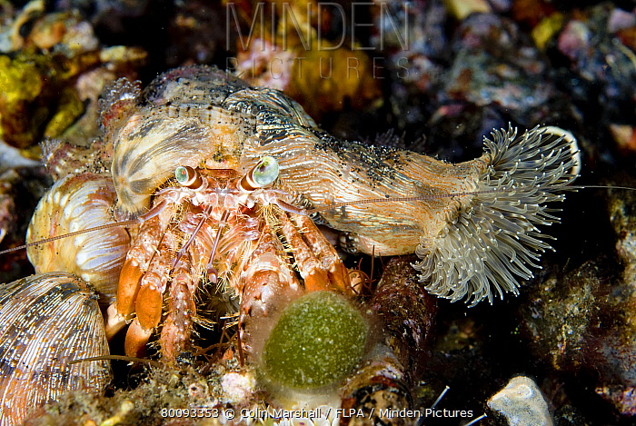 Anemone Hermit Crab (Dardanus pedunculatus) adult, with anemones on shell for camouflage and protection, Lembeh Island, Sulawesi, Indonesia  -  Colin Marshall/ FLPA