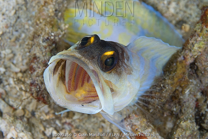 Yellow-barred Jawfish (Opistognathus sp) adult, with mouth open, demonstrating aggressive behaviour, Lembeh Island, Sulawesi, Indonesia  -  Colin Marshall/ FLPA