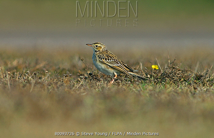 Richard's Pipit (Anthus richardi) juvenile, vagrant, standing, Scilly Isles, England  -  Steve Young/ FLPA