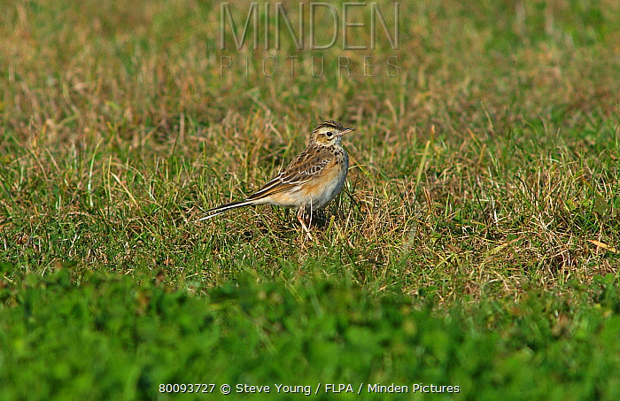 Richard's Pipit (Anthus richardi) juvenile, vagrant, standing on grass, Scilly Isles, England  -  Steve Young/ FLPA