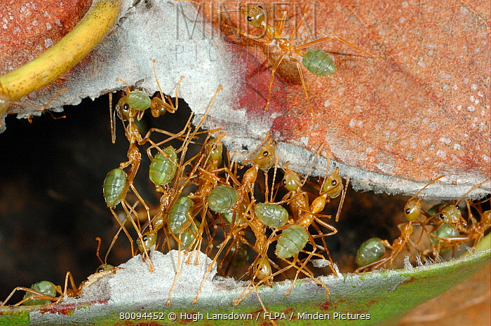 Weaver Ant (Oecophylla smaragdina) colony, sewing two leaves together to repair nest, Chillagoe, Queensland, Australia, august  -  Hugh Lansdown/ FLPA