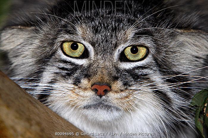 Pallas's Cat (Felis manul) adult, close-up of head, captive  -  Gerard Lacz/ FLPA