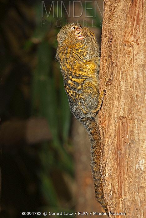 Pygmy Marmoset (Cebuella pygmaea) adult, feeding, clinging to tree trunk, captive  -  Gerard Lacz/ FLPA