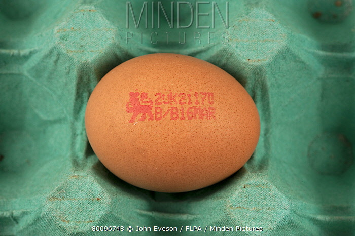 Minden Pictures Stock Photos Domestic Chicken Egg In Tray With