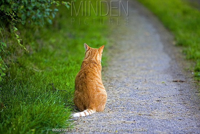 Domestic Cat, ginger tabby, adult male, sitting on path, France  -  Gerard Lacz/ FLPA