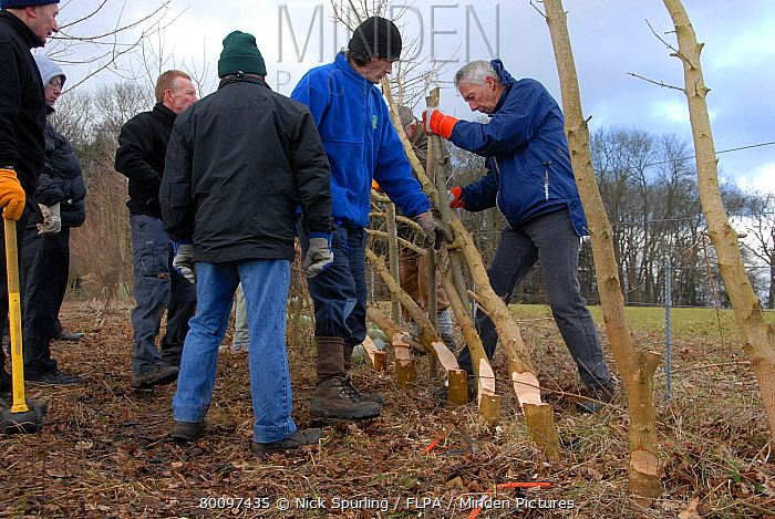 Volunteers laying hedge on Boxmoor Trust land, near Hemel Hempstead, Chilterns, Hertfordshire, England, winter  -  Nick Spurling/ FLPA