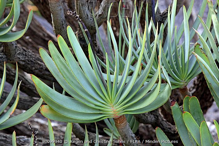 Fan Aloe (Aloe plicatilis) close-up of leaves, Harold Porter Botanical Garden, Betty's Bay, Western Cape, South Africa  -  Jurgen and Christine Sohns/ FLPA