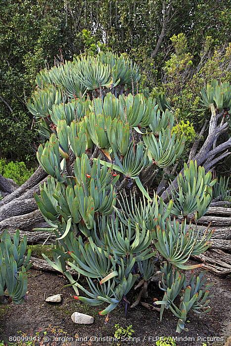 Fan Aloe (Aloe plicatilis) habit, Harold Porter Botanical Garden, Betty's Bay, Western Cape, South Africa  -  Jurgen and Christine Sohns/ FLPA