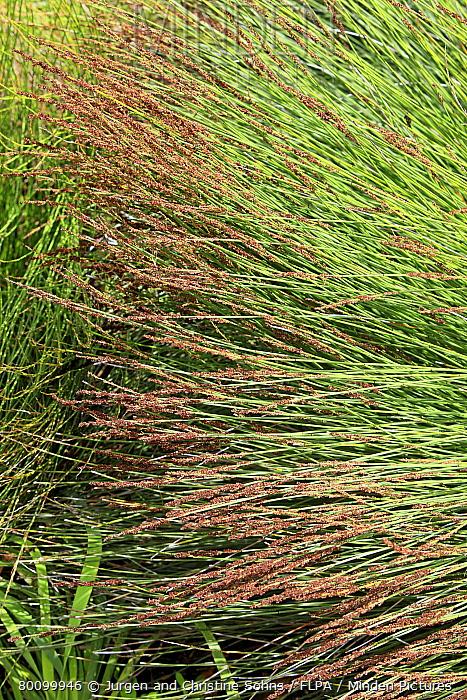 Cape Thatching Reed (Chondropetalum tectorum) flowering, Harold Porter Botanical Garden, Betty's Bay, Western Cape, South Africa  -  Jurgen and Christine Sohns/ FLPA