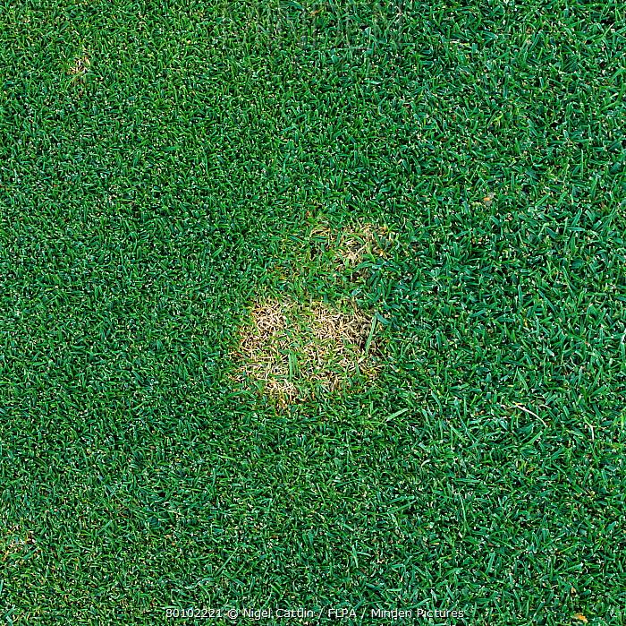 Snow mould (Monographella nivalis) patch in golf course green turf  -  Nigel Cattlin/ FLPA