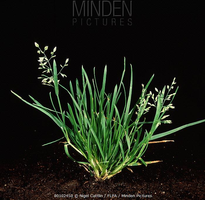 Annual Meadowgrass flowering, Poa annua, on studio background  -  Nigel Cattlin/ FLPA