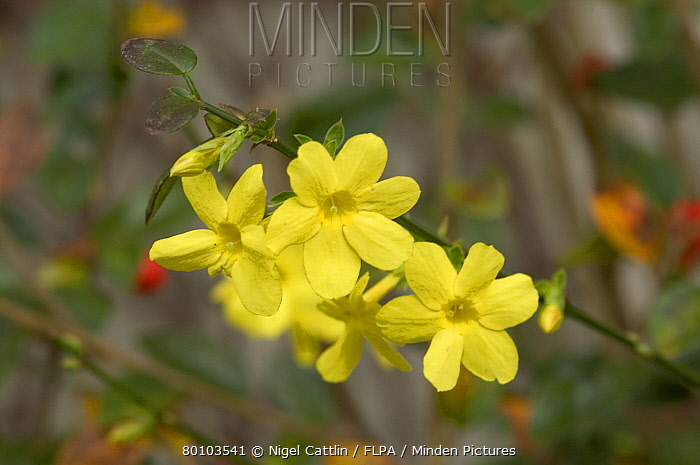 Minden Pictures Stock Photos Yellow Flowers On Winter Flowering