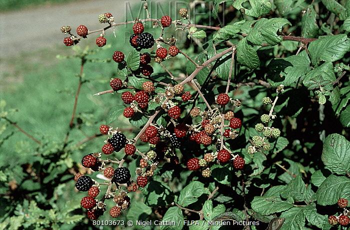 Ripe blackberry fruit (Rubus fructicosus) in a hedgerow  -  Nigel Cattlin/ FLPA