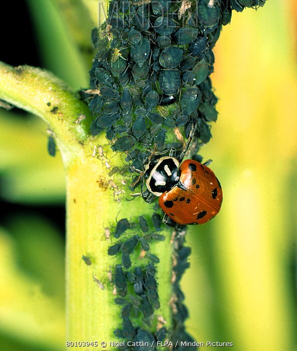 Close up of ladybird Hippodamia convergens feeding on aphids  -  Nigel Cattlin/ FLPA