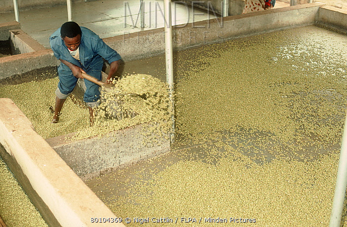 Fermenting Coffee Beans ~ Minden pictures stock photos kenyan worker grading