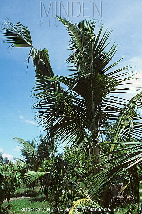 Damage to coconut palm fronds caused by rhinocerus beetle (Oryctes rhinoceros), Philippines  -  Nigel Cattlin/ FLPA