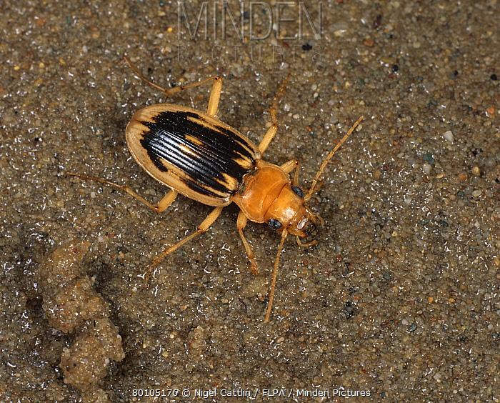A carabid beetle (Nebria complanata) adult on sand  -  Nigel Cattlin/ FLPA