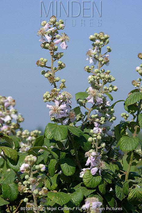 Blackberry (Rubus fructicosus) flowering  -  Nigel Cattlin/ FLPA